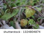cardiospermum halicacabum ... | Shutterstock . vector #1324804874
