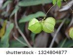 cardiospermum halicacabum ... | Shutterstock . vector #1324804877