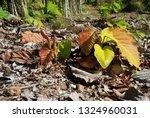 Dipterocarpus Tuberculatus...