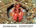 red mantis shrimp on the sandy... | Shutterstock . vector #1325072357