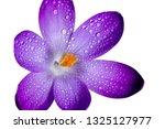 purple spring crocus flower...   Shutterstock . vector #1325127977