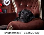 Black Labrador On A Chair In...