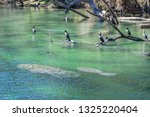 Manatees Swimming Together In...