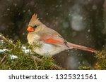 Cardinal Bird On A Cedar Branc...