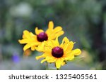 black eyed susan wildflower... | Shutterstock . vector #1325405561