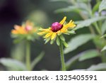 black eyed susan wildflower... | Shutterstock . vector #1325405591