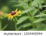 black eyed susan wildflower... | Shutterstock . vector #1325405594