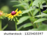black eyed susan wildflower... | Shutterstock . vector #1325405597