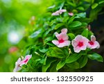 Catharanthus Roseus G. Don....
