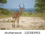 An Isolated Impala Ram In Its...