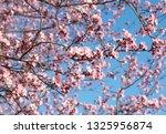 cherry  prunus cerasus blossom... | Shutterstock . vector #1325956874