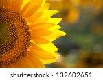 Macro Sunflower Background Wit...