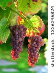 grapes on the vine | Shutterstock . vector #1326246824