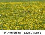 dandelion field in spring | Shutterstock . vector #1326246851