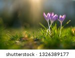 Three Crocusses On A Sunny Day...