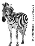Male Zebra Isolated On White...