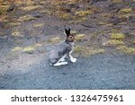 Stock photo hare on a country road in spring in evening hours of feeding and mating activity rut of hares 1326475961