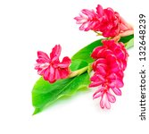 Small photo of Colorful flower, Red Ginger or Ostrich Plume (Alpinia purpurata) isolated on a white background