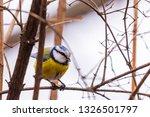 horizontal photo of blue tit... | Shutterstock . vector #1326501797