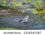 white wagtail or motacilla alba ... | Shutterstock . vector #1326541187