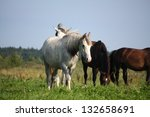 two white horses walking at the ... | Shutterstock . vector #132658691