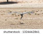 Small photo of Secretary bird, Sagittarius serpentarius, using wings for lift when running, Kgalagadi Transfrontier Park, Northern Cape, South Africa, essentially a territoral bird it flies under duress.