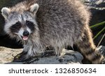 Side view of a cute baby raccoon standing outside on a rock, with a newly captured crab between her two front paws.