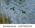 A Pair Of American Coots...