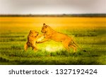 Lioness Fight In Nature....