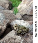 Western Toad on a rock