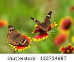 Two Common Buckeye Butterflies...