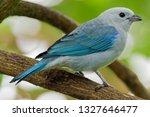 blue grey tanager   tangara... | Shutterstock . vector #1327646477