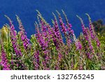 Purple Foxgloves  Digitalis...