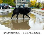 black yard dog walking in the... | Shutterstock . vector #1327685231