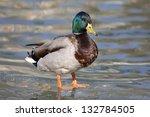 Male Mallard Duck  Anas...