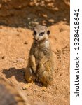 meerkat animal  latin name... | Shutterstock . vector #1328418641