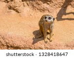 meerkat animal  latin name... | Shutterstock . vector #1328418647