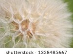 Seed Head Of Yellow Salsify Or...
