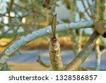 baby plumeria leaves on... | Shutterstock . vector #1328586857