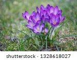 """crocus flowers """"crocus vernus""""...   Shutterstock . vector #1328618027"""