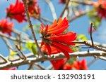 Scarlet Coral Tree