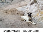 White Big Dog. Sivas Kangal Dog