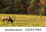 Bull Elk Eating Grass With...
