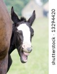 Young Foal Yawning