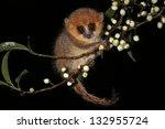 Brown Mouse Lemur  Microcebus...