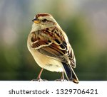 sparrows feeding. sparrows... | Shutterstock . vector #1329706421
