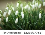 lovely snowdrop flowers ... | Shutterstock . vector #1329807761