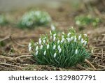 lovely snowdrop flowers ... | Shutterstock . vector #1329807791