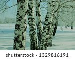 morning frost painted birch... | Shutterstock . vector #1329816191