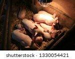 Newborn Pigs Sleeping Under A...